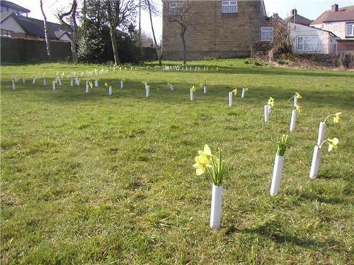 'Daffodil field'