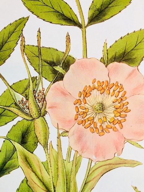 Botanical Illustration, by Diane Roberts