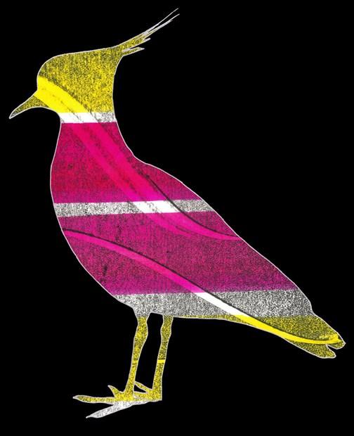 Lapwing bird