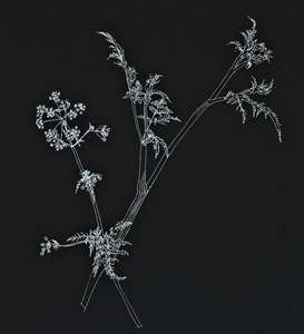 cow parsley, by Louise Bradley