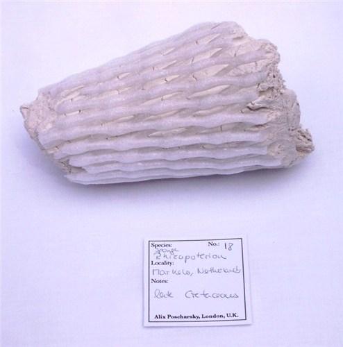 Rhizopoterion (Sponge)