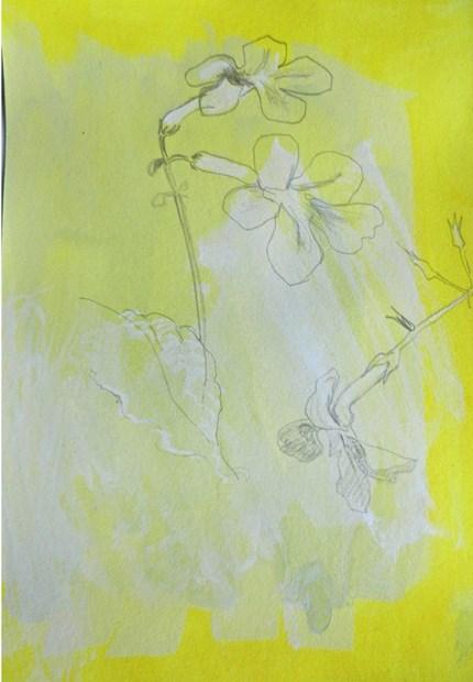 Streptocarpus on Yellow