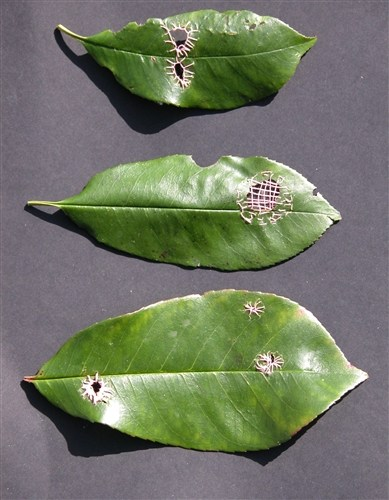 Leaf Darning