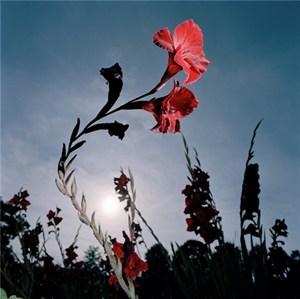 Gladiolus, by Roy Mehta