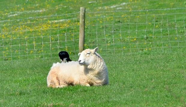 Fleece Pluckers