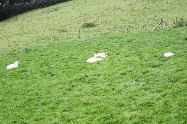 Sheep Rolling